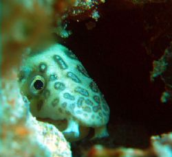 sneaked up on a nice little snake eel and then played hid... by Anna Kinnersly