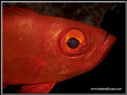I did not know glasseye's were so red until I took the pi... by Yves Antoniazzo