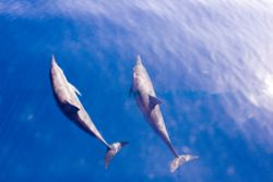 Dolphines, for a long time this 2 dolphines were swimming... by Corina Swan