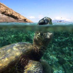 Curious Turtle. This photo was taken in the waters of Mol... by Mathew Cook
