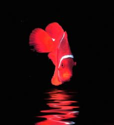 'SPINECHEEK ANEMONE FISH' Housed Nikon F; Niko Mar III ho... by Rick Tegeler