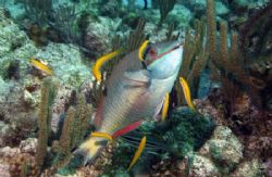 "Parrotfish in the ""classic"" cleaning posture. Image taken... by Allan Vandeford"