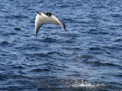 This year the pygmy devil rays were better than ever. The... by Tyania Diffin
