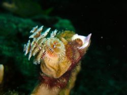 Christmas Tree Worm. Nikron S3 digital with in-camera fla... by Richard Harding