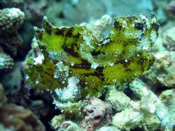 Leaf scorpionfish taken at Sipadan Island, East Malaysia by Dennis Siau