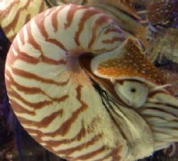 Nautilus in Siam Ocean World, Bangkok by Gordana Zdjelar