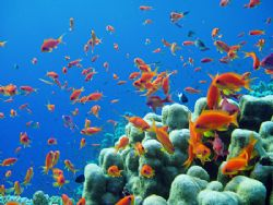 Red Sea Reef Shot, beautiful antheas on Elphinstone Reef... by Alex Tattersall