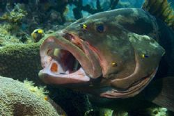 Grouper in cleaning posture. Image taken on Bloody Bay Wa... by Allan Vandeford