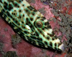 Leatherjacket against a pilon under the Pertamina Pier. O... by Nick Hobgood