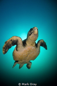 Loggerhead Turtle returning to the surface by Mark Gray
