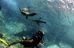 Divemaster & Sea Lions. Los Islotes, just off the coast f... by Allan Vandeford