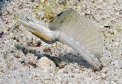 This little Yellowface Pikeblenny wasn't too shy about po... by Jim Chambers