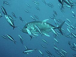 Trevally swimming through bait fish, Raja Ampat by Dawn Watson
