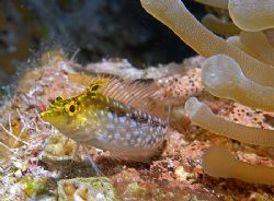 This little Diamond Blenny is one of the most colorful fi... by Jim Chambers