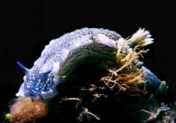 Big Nudibranche.