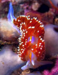 Horned Nudibranch--San Miguel Island, California (Nikon F... by Andrew Dawson