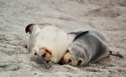 Australian Sea Lion pups mugging for the camera. Seal Bay... by Morgan Ashton