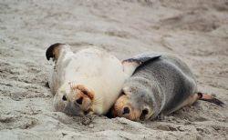 Australian Sea Lion pups mugging for the camera. Seal Bay... by Morgan Ashton
