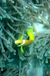 Anemona Fish. by Bruno Santos