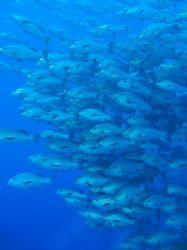 Large shoal of snappers taken at Shark reef, Ras Mohamed ... by Nikki Van Veelen