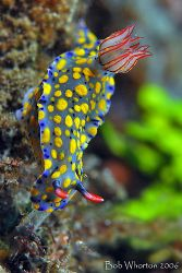 Hypselodoris sp. Taken in Lembeh with the D200 & 105 in I... by Dr Bob Whorton
