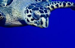 Inquisitive sea turtle near the surface. Image taken on B... by Allan Vandeford