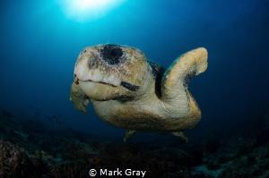 Loggerhead Turtle by Mark Gray