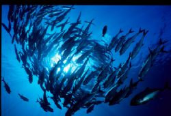 Schooling Big Eye Jacks at Mary Island