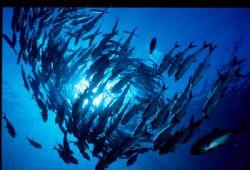 Schooling Big Eye Jacks at Mary Island  Nikonos V w 15 ... by Paul Waldeck