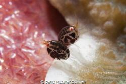 Lady bugs by Deniz Muzaffer Gökmen