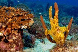 Frog fish, Coiba Island, D-70s / Ikelite D-125 strobe by Larry Polster