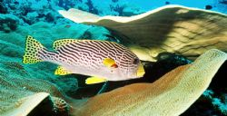 Sweetlips. Photo taken at Pelilieu Cut. by Morgan Ashton