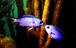 '...AS I WAS SAYING.' Blue Chromis in the sand shallows o... by Rick Tegeler