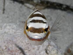 I think this little Tobaccofish was mezmerized by his ref... by Jim Chambers