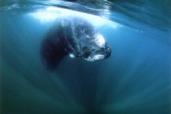 My Southern Right Whale , last photo -seconds before his ... by Ralf Levc