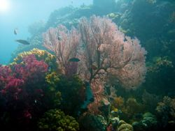 Attempt at WA photography !! A gorgonian fan on the Big D... by Alex Tattersall