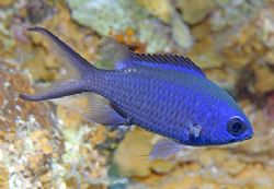 Blue Chromis are a very common fish in the Caribbean, but... by Jim Chambers