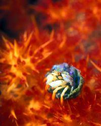 Juvenile Hermit Crab in soft coral--Beqa Lagoon, Fiji (Ni... by Andrew Dawson
