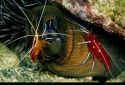 Open Wide- gReen Moray w 2 Species of Cleaner Shrimp.  ... by Paul Waldeck
