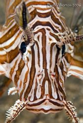 Lionfish portrait from Paradise Pier Pulisan Northern Sul... by Dr Bob Whorton