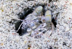 Smasher Shrimp. by David Spiel
