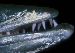 Teeth of the Great Barracuda (Nikon F4, 105mm Macro, Aqua... by Andrew Dawson