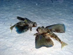 Flying Gurnard taken on a night dive from the Turks and C... by Tim Clark