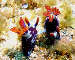 Nudis in caught in the act. Quobba Coastline Western Aust... by Brad Cox