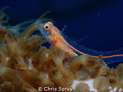 Southern smoothhead glass Blenny  Bonaire by Chris Spray
