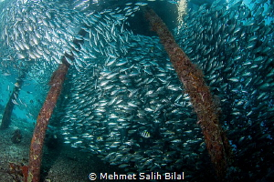 Big shoal under Arborek, Raja Ampat. by Mehmet Salih Bilal