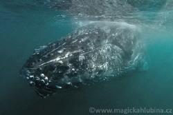 Humpback whale sleeping under the surface by Viktor Vrbovský