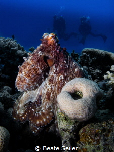 Octopus in the red sea by Beate Seiler