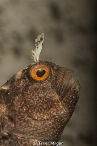 Blenny from Degirmendere by Taner Atilgan