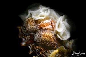 Rough-mantled doris(Onchidoris bilamellata), Zeeland, The... by Filip Staes